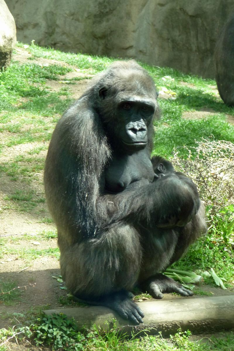 barcelona zoo gorilla jeckyl