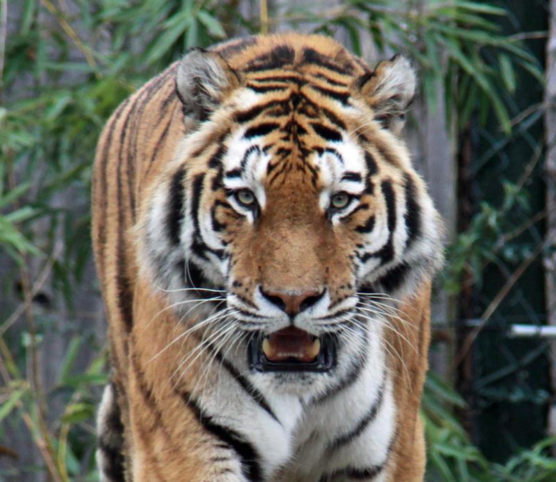 zoom gelsenkirchen deutschlandweit geocaching jeckyl tiger portrait