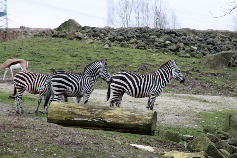 zoom gelsenkirchen geocaching jeckyl afrika zebra