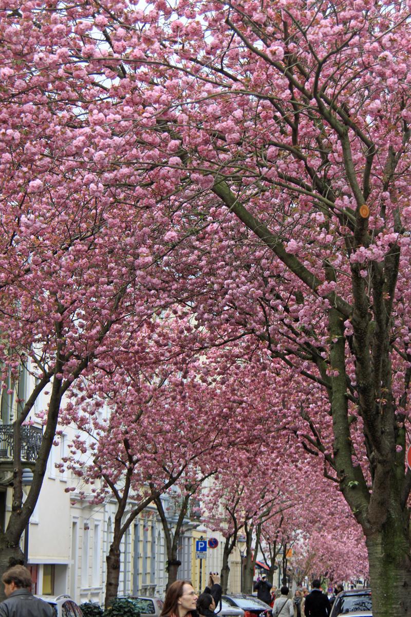 bonn rundumbonn kirschblüte